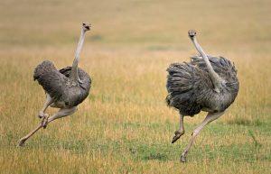Ostrich runs faster than horses