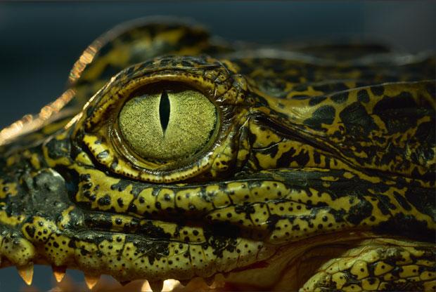 Crocodile cannot sweat but cries